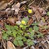 Marsh Marigold<br /> Caltha palustris<br /> Ranunculaceae<br /> Hedgewood Gardens, Townsend, TN 2008