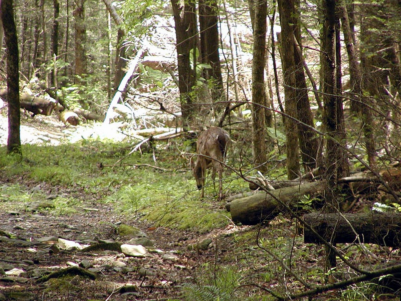 Doe along Crib Gap trail