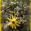Orange Coneflowers <br /> Rudbeckia fulgida<br /> Asteraceae<br /> Nantahala NF, NC 9/25/08
