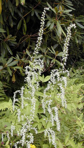 Feather Bells along Blue Ridge Parkway<br /> Stenanthium gramineum<br /> Liliaceae<br /> Aug. 2008