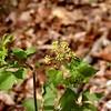 Meadow Parsnip<br /> Thaspium barbinode<br /> Apiaceae<br /> Trotters Bluff SWA 2008