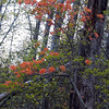 Gorgeous blooms of Flame azalea warm up this Spring evening.<br /> Little Brier Gap Trail<br /> GSMNP May 08