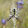 I found a writing spider in the meadow of flowers.<br /> Argiope aurantia<br /> GSMNP NC 9/25/08