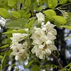 Gorgeous white drupes of Black Locust. <br /> These were everywhere today and they smell marvelous!<br /> Robinia pseudoacacia<br /> Fabaceae