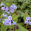Closeup of Virginia Bluebells<br /> Mertensia virginica<br /> Boraginaceae<br /> Hedgewood Gardens, Townsend, TN 2008