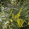 A conglomeration of goldenrod and Joe Pye Weed along the road.<br /> Tallassee, TN Aug. 2008