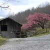 Old Barn and Peach blossoms along Schoolhouse Gap Road<br /> Blount Co., TN 2008