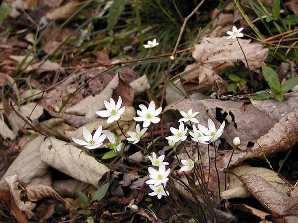 Hepatica cluster--all white variety. Chestnut Top Trail <br /> Hepatica acutiloba<br /> Ranunculaceae<br /> GSMNP TN 2008