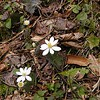 <B>Bloodroot lines the slopes this time of year in White Oak Sinks. Sanguinaria canadensis Ranunculaceae Whiteoak Sinks, GSMNP, TN 2008