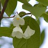 Carolina silverbells blossoms<br /> Halesia tetraptera<br /> Styracaceae