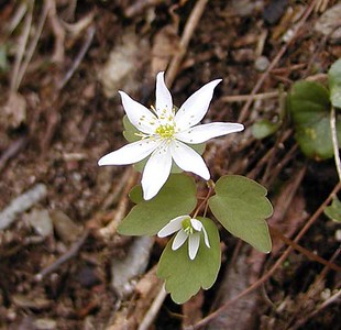 """Rue Anemone or """"Wind Flower"""" growing beside Chestnut Top Trail Thalictrum thalictroides Ranunculaceae   GSMNP TN 2008"""