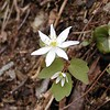 "Rue Anemone or ""Wind Flower"" growing beside Chestnut Top Trail<br /> Thalictrum thalictroides<br /> Ranunculaceae  	<br /> GSMNP TN 2008"