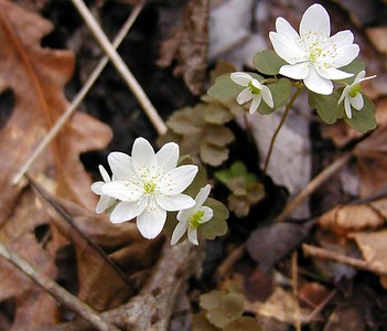 Wind Flower or Rue Anemone in bloom. It is so delicate and pretty! Thalactrum thalictroides Ranunculaceae White Oak Sinks, GSMNP, TN 2008