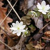 <b>Wind Flower or Rue Anemone in bloom. It is so delicate and pretty! Thalactrum thalictroides Ranunculaceae White Oak Sinks, GSMNP, TN 2008