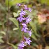Downy Lobelia<br /> Lobelia puberula<br /> Campanulaceae<br /> Starr Mtn. TN 9/30/08
