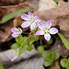 Very pink striped Spring Beauty lines the slopes at the beginning of Chestnut Top Trail.  <br /> Claytonia virginica<br /> Portulacaceae. That's all for this edition, but stay tuned as the weeks and months unfold. There will be regular updates. <br /> GSMNP TN 2008
