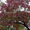Sourwood tree turning red for Fall.<br /> Oxydendrum arboreum<br /> Ericacaeae<br /> Starr Mtn. TN 9/30/08