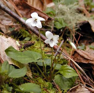 Sweet White Violet along Bote Mtn Trail Viola blanda Violaceae GSMNP TN 2008