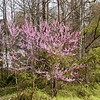 Pink Redbud Tree at the entrance to Hedgewood Gardens<br /> Cercis canadensis<br /> Fabaceae<br /> Townsend, TN 2008
