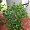 Best Plants for the Southern Garden mentions holly as a good one.<br /> It is and this will hide our central heat and air unit. We cut down a non-native invasive.. Privet which was growing here and shielding the view of this.
