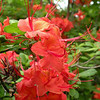Red orange azalea blooms. This bush was the one that dropped the pretty blooms on the green running cedar.