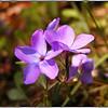 Creeping Phlox <br /> Phlox stolonifera<br /> Polemoniaceae<br /> Porters Creek Trail GSMNP TN 4/09