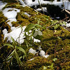 Trillium mohonk<br /> the first mohonking trillium I found today.<br /> Growing on the sparse yet rich soil and barely keeping a grip on the nurse log.<br /> Defying snow and wind and blooming where it darn well pleases!<br /> If these trilliums were cats they'd be three legged, one eyed, and one ear chewed off.<br /> And they would not have had a single trip to the vet or ANY shots!