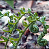 Fiddleheads of emerging ferns along the trail.