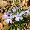 Birdsfoot Violet along the logging road<br /> It also grows along Connelly's Creek Rd.<br /> Viola pedata<br /> Violaceae<br /> Nantahala NF NC 5/08/09
