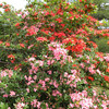 Pink and Orange Azaleas