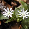 Star Chickweed along Chestnut Top Trail is just starting to show a bloom or two.<br /> Stellaria pubera<br /> Caryophyllaceae<br /> GSMNP TN 3/09