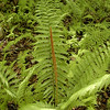 Closer view of Cinnamon Fern which takes its name from the fertile portions resemblance to a cinnamon stick!<br /> Osmunda cinnamomea<br /> Osmundaceae<br /> Blount Co. TN 5/10/09