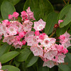 Deepest pink Mountain Laurel I ever saw on Hooper Bald. I did nothing to this photo to retouch the colors.<br /> It is totally natural.  <br /> Kalmia latifolia<br /> Ericaceae<br /> Cherohala Skyway NC 6/19/09