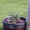 Heirloom tomatoes in my whiskey barrel out back.<br /> German Queen.. 2 plants. Mr. Stripey 1 plant. and some Boston pickling cukes.<br /> Lowes heard what I had to say about heirlooms and brought in heirloom veggies for sale this year for the first time!