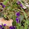 Deep Purple Common Wood Violets<br /> Viola sororia <br /> Violaceae<br /> Maryville College Woods, TN 4/09