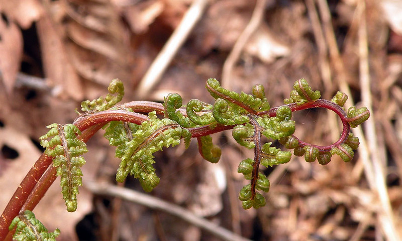 Some sort of fern unfurling its curly fronds. <br /> Not sure what kind.<br /> Alarka Laurel NC 5/8/09