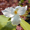 Large White Trillium was abundant along Porters Creek Trail today.<br /> Seeing their faces again after a long Winter was like seeing the faces of old friends.<br /> Trillium grandiflora<br /> Liliaceae<br /> GSMNP TN 4/09