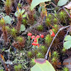 British Soldiers Lichen growing along Connellys Creek Road Not sure what the other club moss is.<br /> Lichens represent a fifth category of fern allie. They also reproduce by way of spores and have special adaptations for survival in harsh conditions. They are not vascular plants from what I understand. They used to be categorized according to their fungal component, but that is no longer an accepted practice.<br /> Cladonia cristatella<br /> Cladoniaceae<br /> Nantahala National Forest, NC 5/8/09