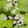 Foam Flower-- a macro shot really shows off the delicate form of the flower as well as the peach highlights on this beautiful flower. <br /> Tiarella cordifolia<br /> Saxifragaceae<br /> Maryville College Woods, TN 4/09
