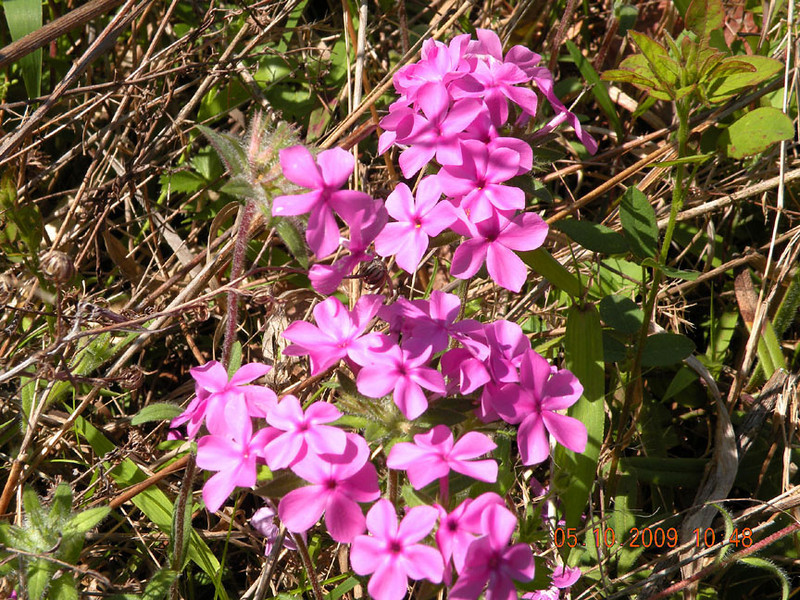 Closer view of Hairy Phlox growing at Tallassee in the meadow.<br /> Phlox amoena<br /> Polemoniaceae<br /> Blount County, TN 5/10/09