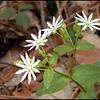 Star Chickweed blooms near Hesse Creek and along Beard Cane Creek Trail.