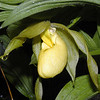 Yellow Lady Slipper in the rain<br /> Cypripedium pubescens<br /> Orchidaceae<br /> GSMNP NC 5/09