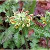Louse wort or Wood Betony growing near Bog Pond<br /> Pedicularis canadensis<br /> Scrophulariaceae<br /> Alarka Laurel Red Spruce Bog<br /> Nantahala National Forest, NC 5/8/09