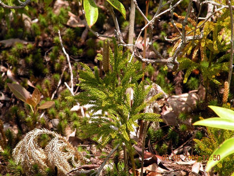 Round Branch Ground- Pine in the Red Spruce Bog area<br /> Lycopodium hickeyi<br /> Lyocopodiaceae<br /> Fern allie<br /> Alarka Laurel<br /> Nantahala National Forest, NC 5/8/09
