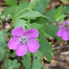 Wild Geraniums were still blooming in a few spots down low on Connelly's Creek Road<br /> Geranium maculatum<br /> Geraniaceae<br /> Alarka Laurel <br /> Nantahala National Forest, NC 5/8/09