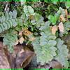 Maidenhair Spleenwort on Chestnut Top Trail<br /> Asplenium trichomanes ssp. trichomanes<br /> Aspleniaceae<br /> GSMNP TN 4/09