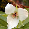Sweet White Trillium back along Rush Branch<br /> <br /> Liliaceae<br /> GSMNP TN 3/30/09