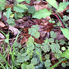 These little shamrock looking plants are actually Violet Wood Sorrel which will not bloom until July!<br /> It is quite pretty and would be worth a look.<br /> Oxalis violaceae<br /> Oxalidaceae<br /> Maryville College Woods, TN 4/09