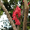 Chilean Bells looks like something out of the Garden of Eden. This photo is taken of it in the wild.<br /> It is seldom seen in cultivation because it is extremely difficult to grow. <br /> KT has grown it successfully and it is now blooming. It took 5 years and many tries for the first waxy red blooms to appear!  Not many gardeners would have the patience or expertise needed to germinate these successfully much less see them to blooming! <br /> Lapageria rosea