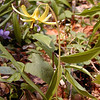 Yellow Trout Lily<br /> Erythronium americanum<br /> Porters Creek Trail GSMNP TN 4/09